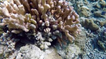 coraux 1